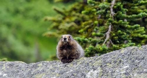 MB Marmot