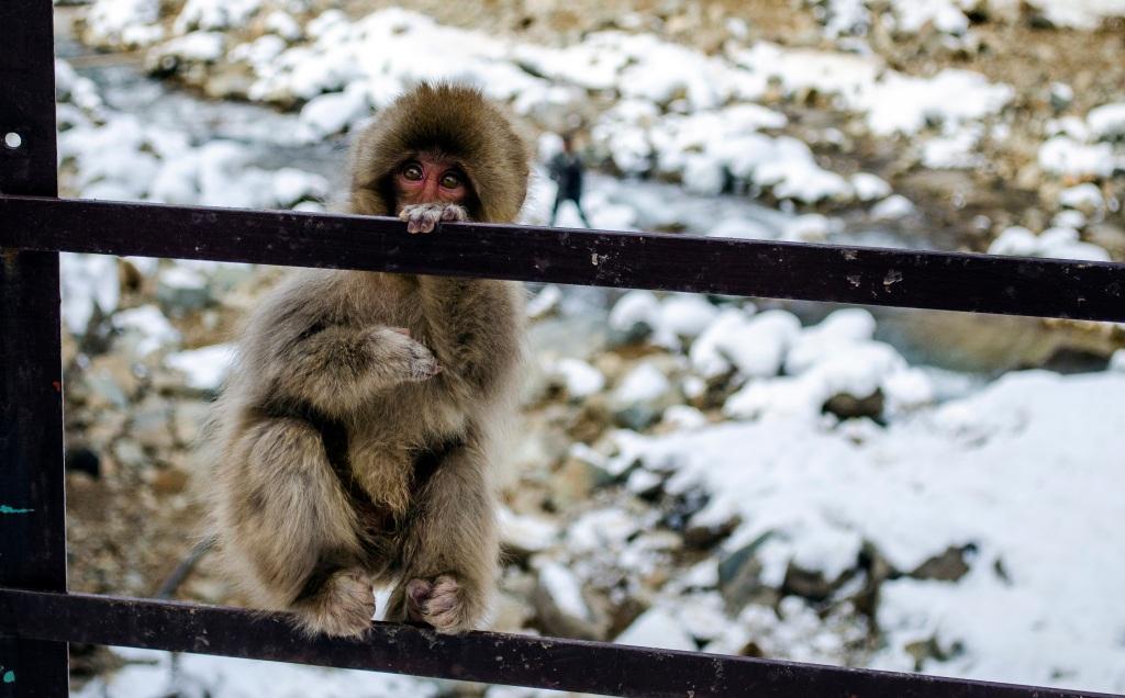 Fence monkey 2