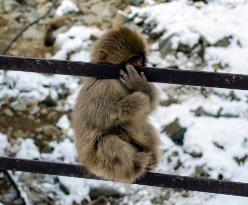 Hiding monkey
