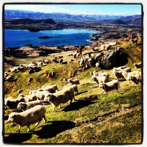 Sheep like Lake Wanaka too.